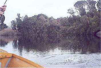 Angling report Aug 2001 Kingfisher Lodge fly fishing reports Lake Brunner